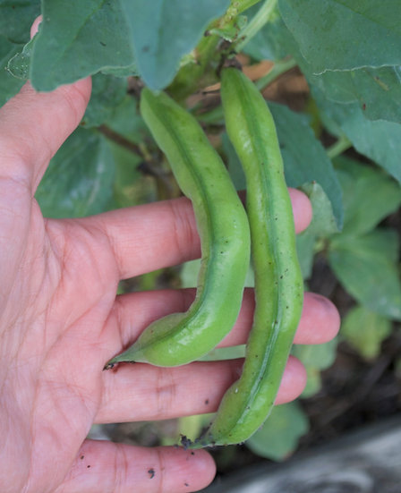 Bean-Fava Broad Windsor