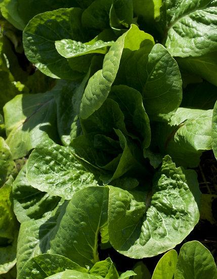 Lettuce - Parris Island Cos, Romaine