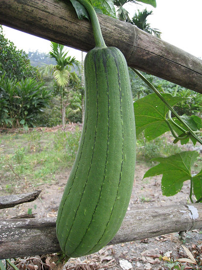 Gourd - Luffa (Southern Acclimated)