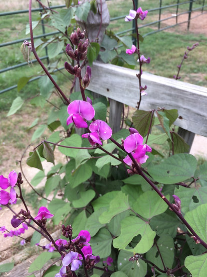 Flower - Hyacinth Bean Vine, Moon Shadow