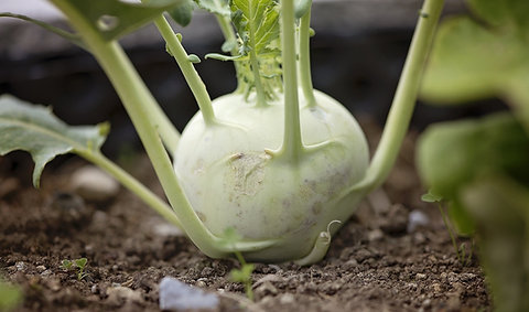 Kohlrabi - Early White Vienna
