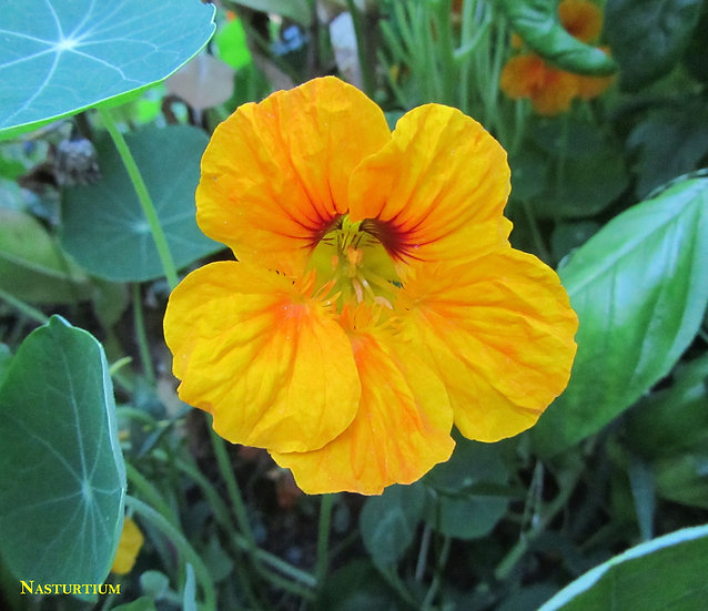 Flower - Nasturtium, Dwarf Jewel Mix