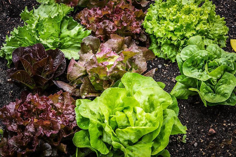 Lettuce - Gourmet Salad Blend