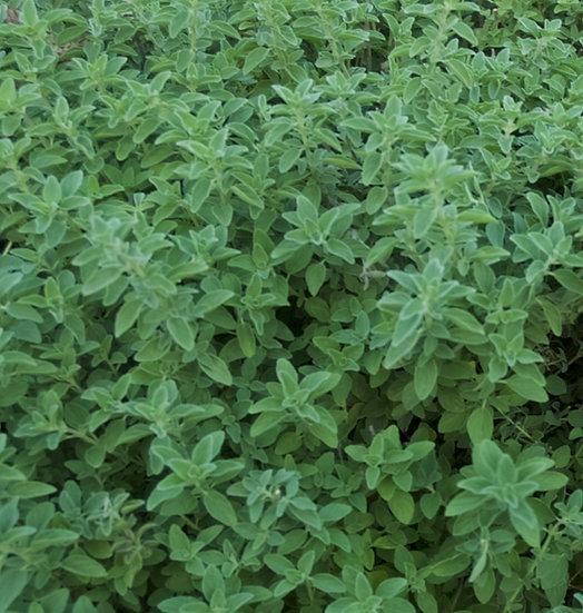 Herb - Oregano