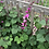 Thumbnail: Flower - Hyacinth Bean Vine, Moon Shadow
