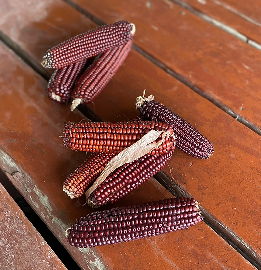 Corn - Bloody Butcher (Southern Acclimated)
