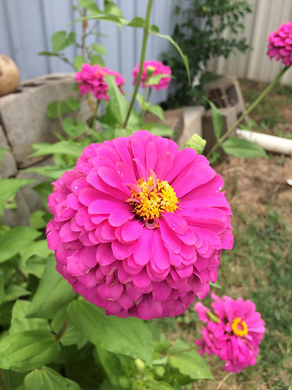 Flower - Zinnia-Brazos Valley Pink (Southern Acclimated)