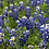 Thumbnail: Wildflower - Texas Bluebonnet