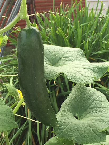 Cucumber-Beit Alpha