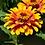 Thumbnail: Flower - Zinnia, Sombrero