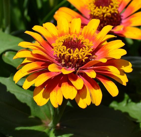 Flower - Zinnia, Sombrero