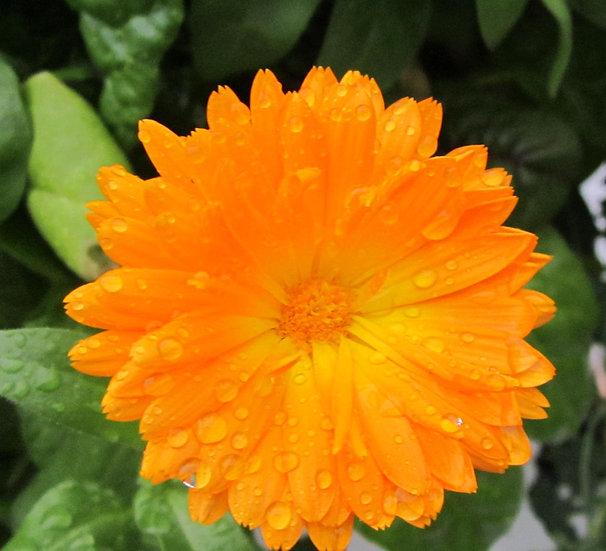 Flower - Calendula-Fancy Mix