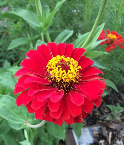 Flower - Zinnia, Cherry Queen