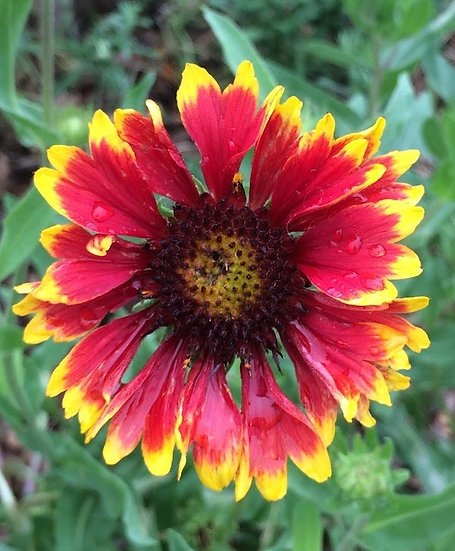 Wildflower - Gaillardia, Indian Blanket (Southern Acclimated)