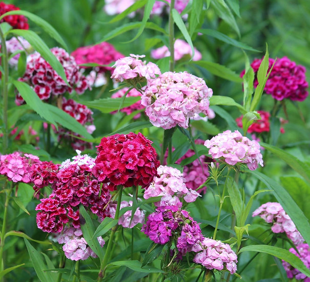 Flower - Dianthus-Sweet William, Double Mix