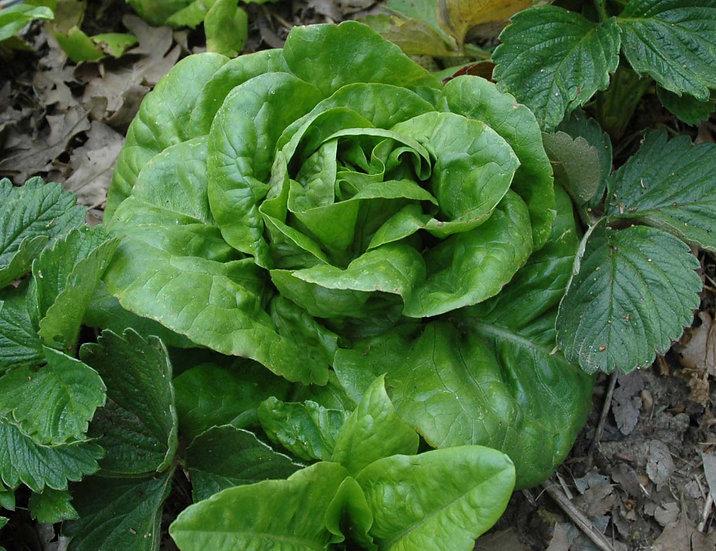 Lettuce - Buttercrunch, Heading/Bibb