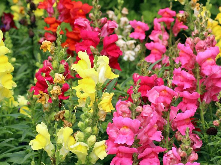 Flower - Snapdragon Mix