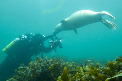 Seals with Diver