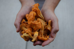 Local Chantrelles