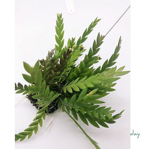 Dendrobium Aloifolium