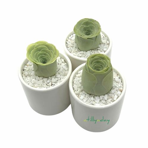Greenovia in White Ceramic Pot
