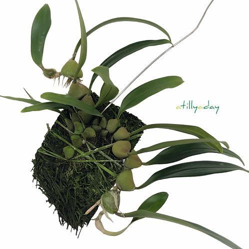 Bulbophyllum Limbatum