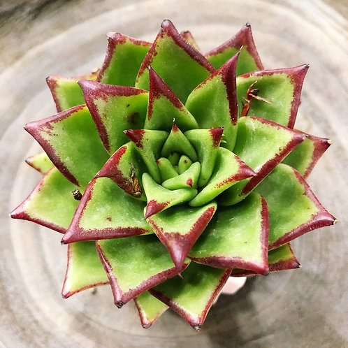 Echeveria agavoides (bare-root)