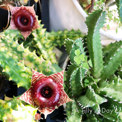 Huernia Zebrina Variegated (not-rooted, per piece)
