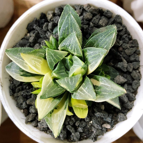 Haworthia  magnifica (potted)