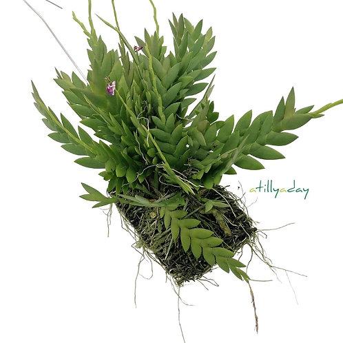 Dendrobium Rosellum
