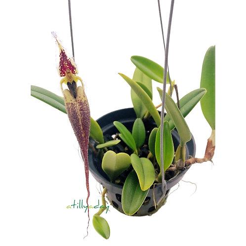 Bulbophyllum  Romyi