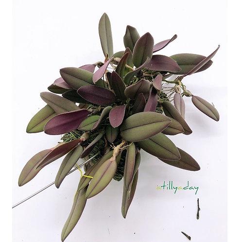 Bulbophyllum Purpurascens