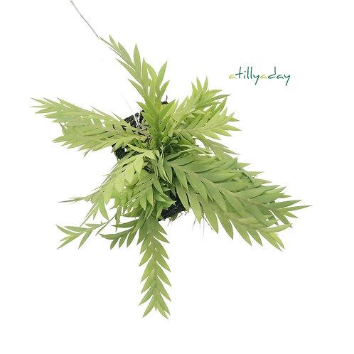 Dendrobium Lobatum