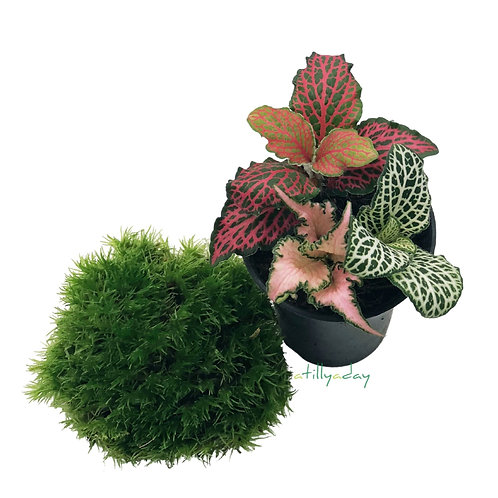 Fittonia and Moss