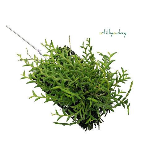 Dendrobium Subulatum