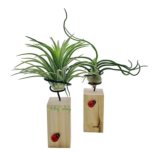 Air plant on wooded rectangular and circular square