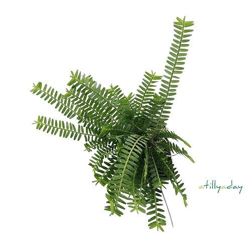 Agrostophyllum Stipulatum