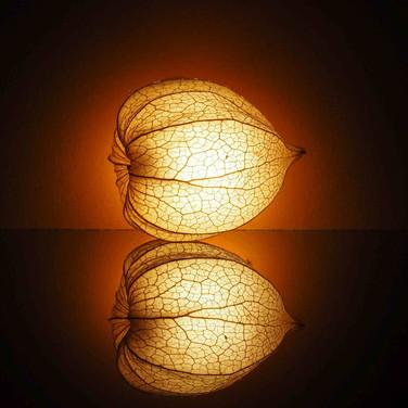 19 Physalis auf Acrylplatte mit Taschenlampe zum leuchten gebracht