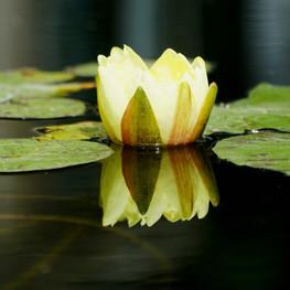 23_Lotus
