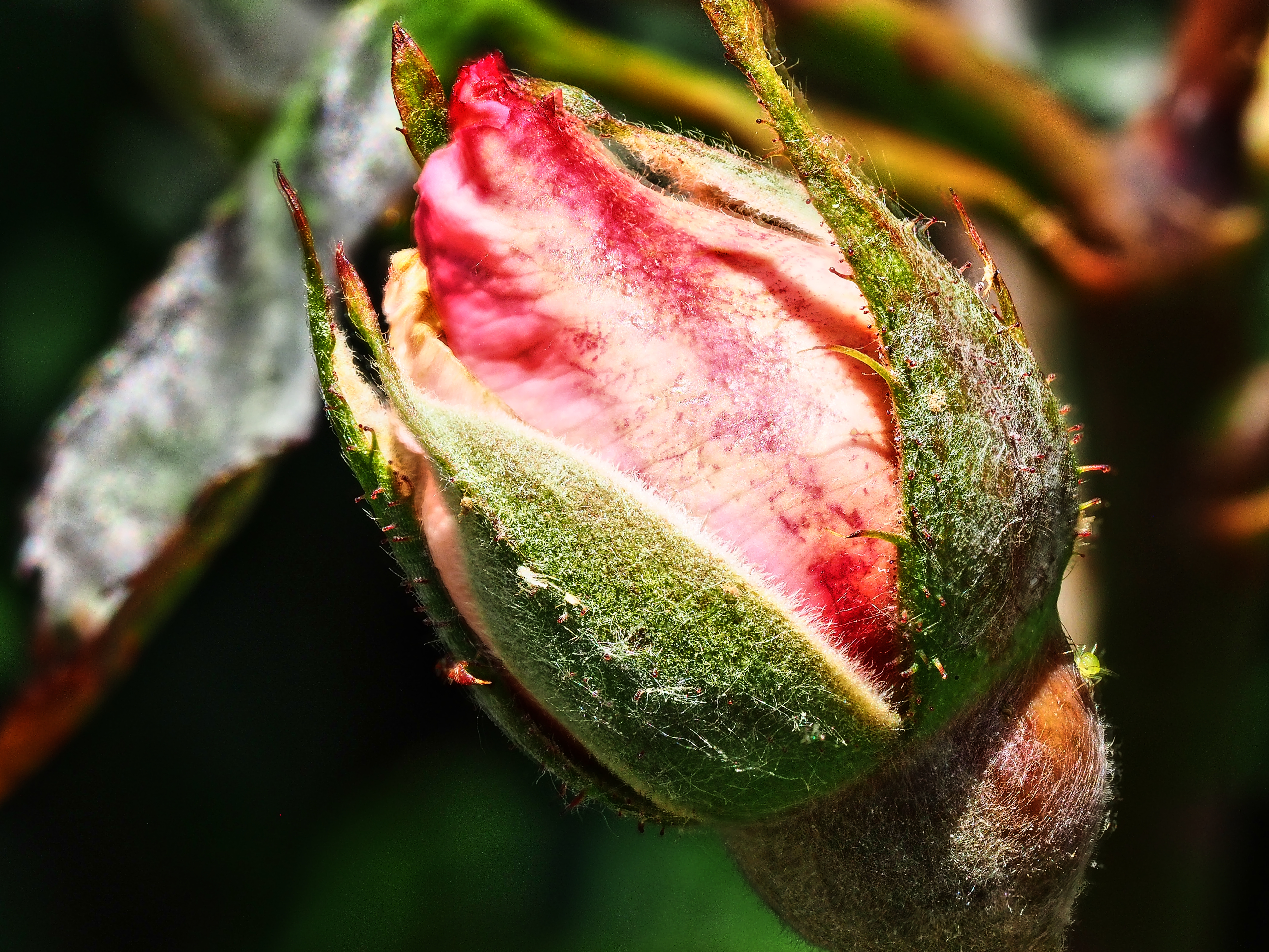 Rose mit Blattlaus