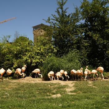 Flamigos im Zoo Frankfurt