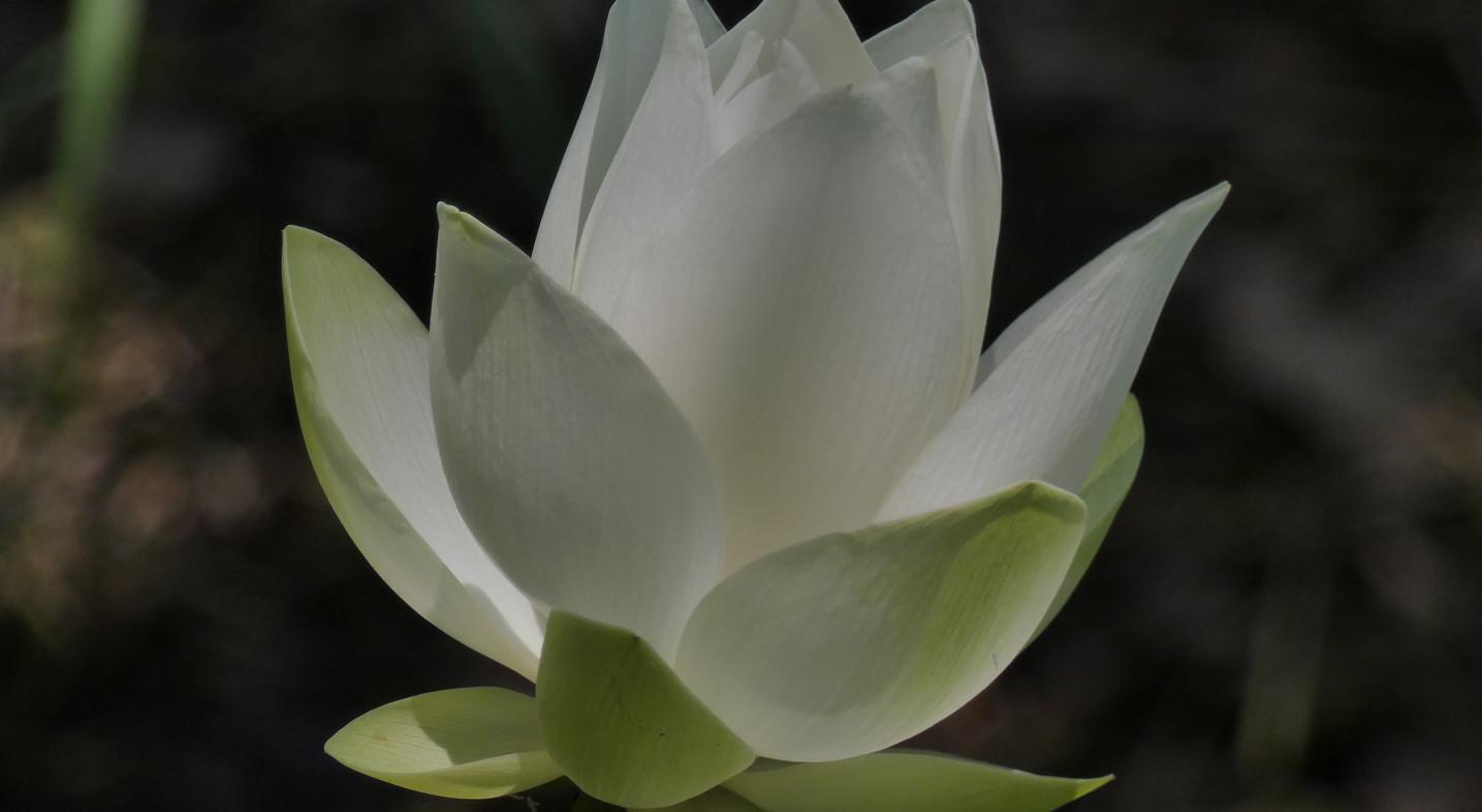 Lotusblüte_1.JPG