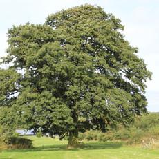 Bawdon_Lodge_Farm_Leicestershire_oak_tre