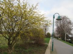 Kornel-Kirschbäume auf dem Rheindamm