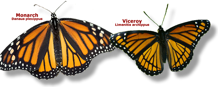 id_monarch_viceroy