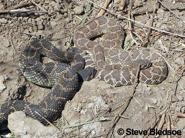 rattlesnakes color differences