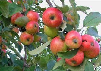Omenaa