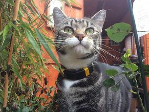 Cat with PawTrax HALO GPS tracker