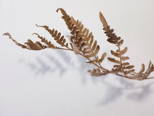 fllithemaferira  布糸植物