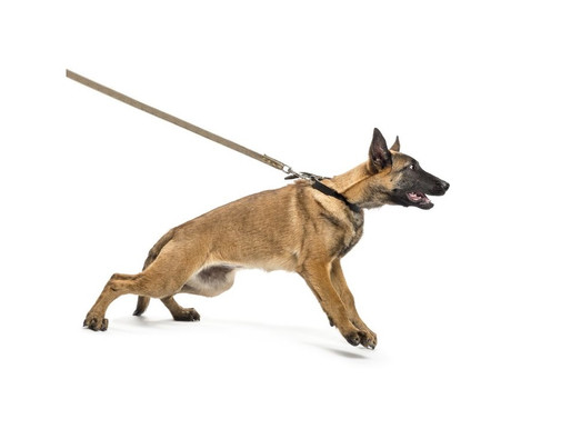 How To Prevent Tracheal Collapse In Dogs: How a Quality Harness Helps